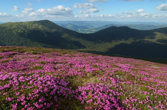 Flowering Carpathians, Chornohora, Ukraine, photo 7