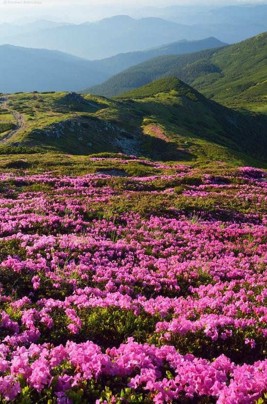 Flowering Carpathians, Chornohora, Ukraine, photo 8