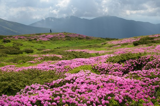 Flowering Carpathians, Chornohora, Ukraine, photo 9