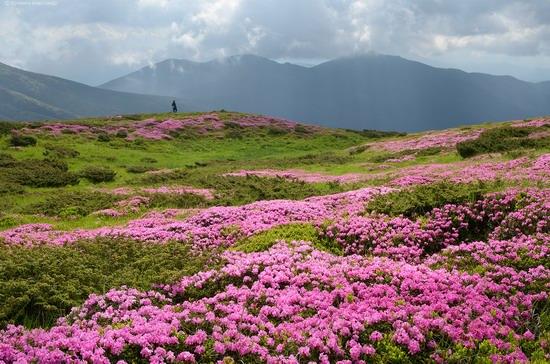 Flowering Carpathians, Chornohora, Ukraine, photo 9