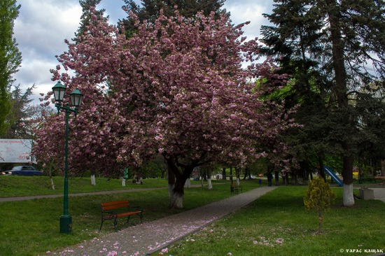 Sakura blossom in Uzhgorod, Ukraine, photo 1