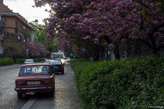 Sakura blossom in Uzhgorod, Ukraine, photo 10