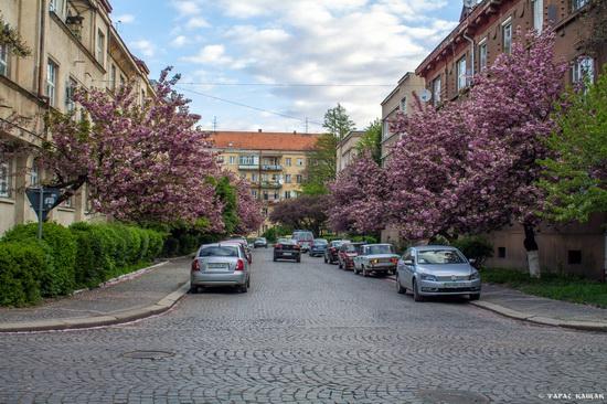 Sakura blossom in Uzhgorod, Ukraine, photo 12