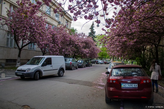 Sakura blossom in Uzhgorod, Ukraine, photo 13
