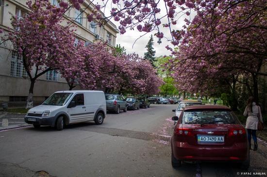 Sakura blossom in Uzhgorod, Ukraine, photo 13