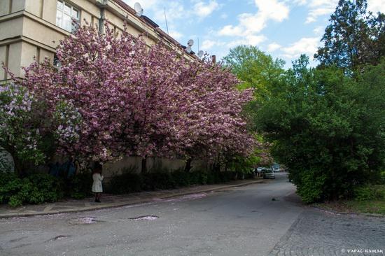 Sakura blossom in Uzhgorod, Ukraine, photo 14