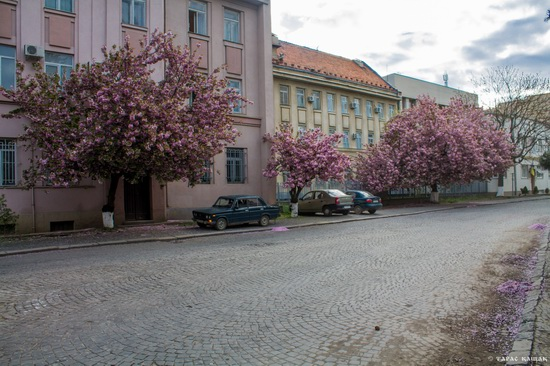 Sakura blossom in Uzhgorod, Ukraine, photo 15
