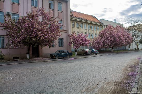 Sakura blossom in Uzhgorod, Ukraine, photo 15