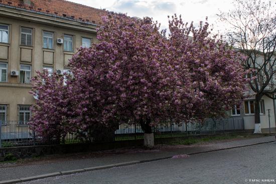Sakura blossom in Uzhgorod, Ukraine, photo 16