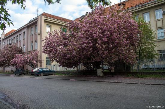Sakura blossom in Uzhgorod, Ukraine, photo 17