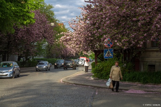 Sakura blossom in Uzhgorod, Ukraine, photo 19