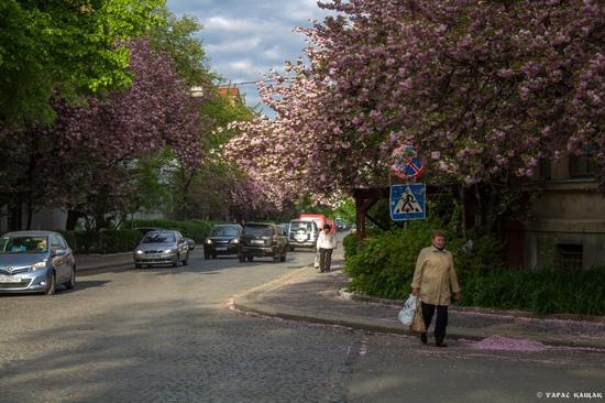 Sakura blossom in Uzhgorod, Ukraine, photo 19
