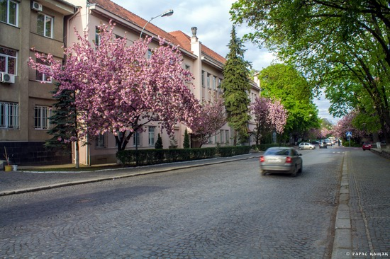 Sakura blossom in Uzhgorod, Ukraine, photo 21