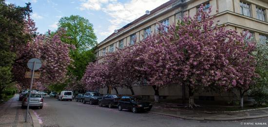 Sakura blossom in Uzhgorod, Ukraine, photo 23
