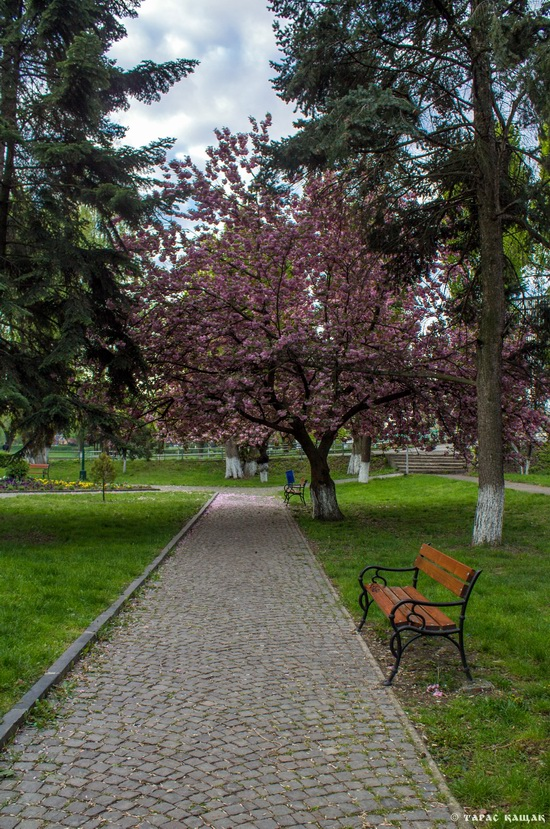 Sakura blossom in Uzhgorod, Ukraine, photo 3
