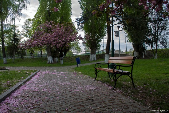 Sakura blossom in Uzhgorod, Ukraine, photo 4