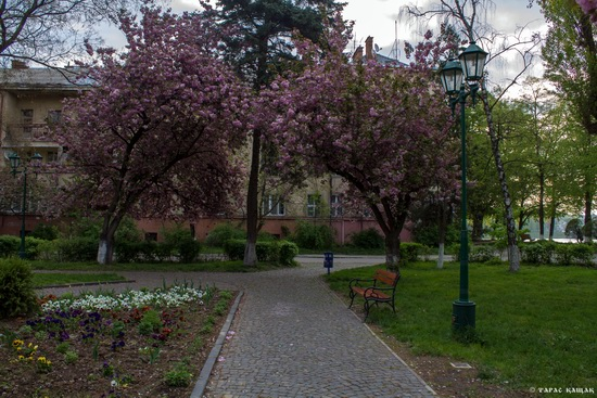 Sakura blossom in Uzhgorod, Ukraine, photo 5