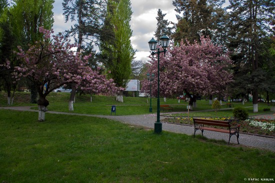 Sakura blossom in Uzhgorod, Ukraine, photo 6