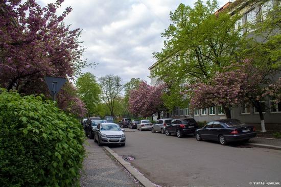 Sakura blossom in Uzhgorod, Ukraine, photo 8