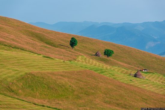 Yellow-green world of the Carpathians during haymaking, Ukraine, photo 8