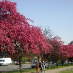 Flowering sakura and apple trees in Uzhhorod