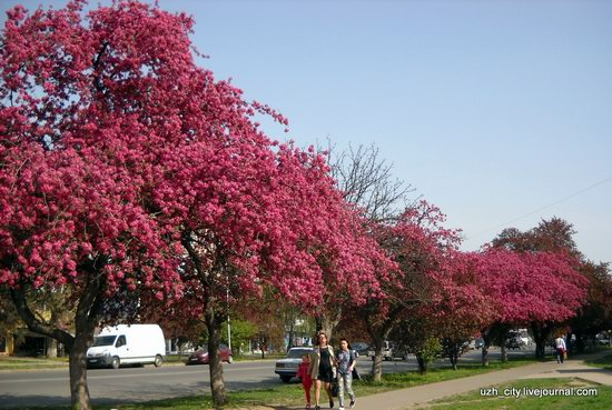 Flowering sakura and apple trees in Uzhhorod, Ukraine, photo 1