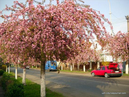 Flowering sakura and apple trees in Uzhhorod, Ukraine, photo 10
