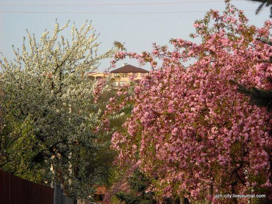 Flowering sakura and apple trees in Uzhhorod, Ukraine, photo 11