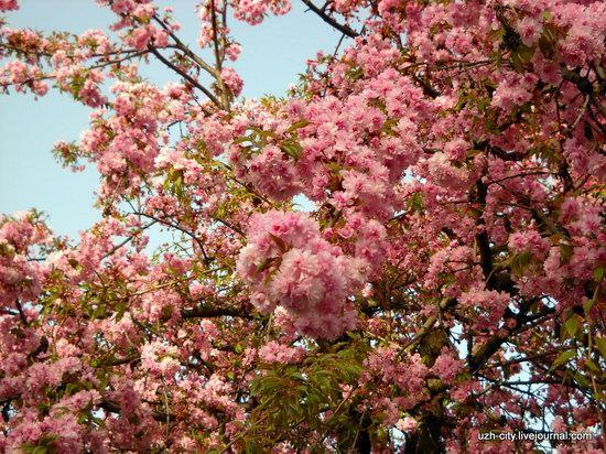 Flowering sakura and apple trees in Uzhhorod, Ukraine, photo 12
