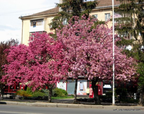 Flowering sakura and apple trees in Uzhhorod, Ukraine, photo 13