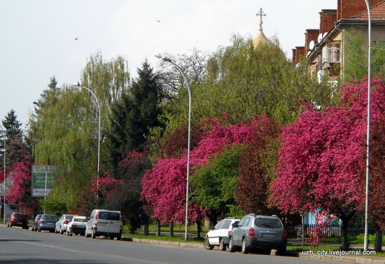 Flowering sakura and apple trees in Uzhhorod, Ukraine, photo 14
