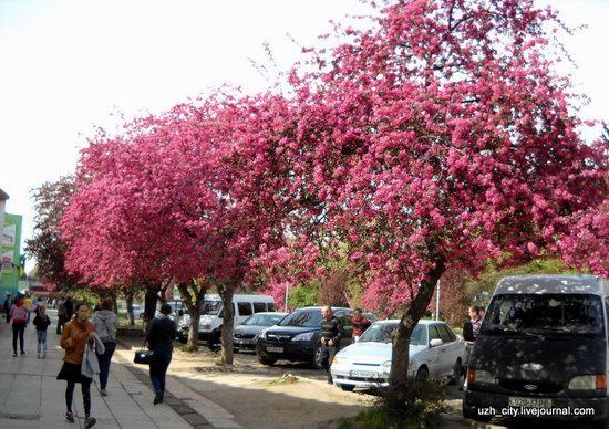Flowering sakura and apple trees in Uzhhorod, Ukraine, photo 15
