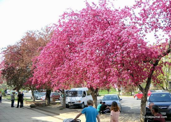 Flowering sakura and apple trees in Uzhhorod, Ukraine, photo 16