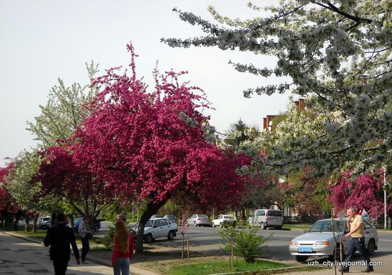 Flowering sakura and apple trees in Uzhhorod, Ukraine, photo 17