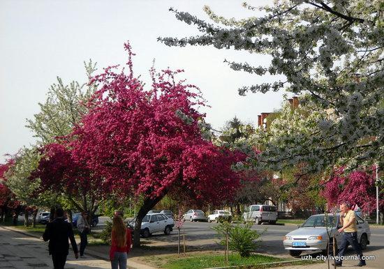 Flowering sakura and apple trees in Uzhhorod, Ukraine, photo 17