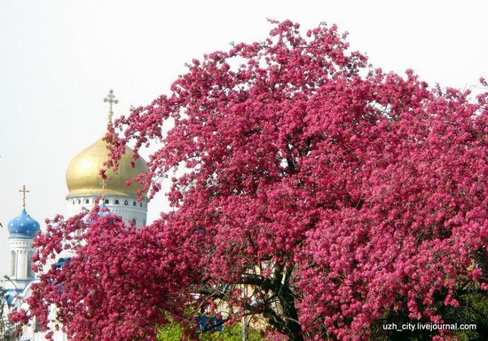 Flowering sakura and apple trees in Uzhhorod, Ukraine, photo 18