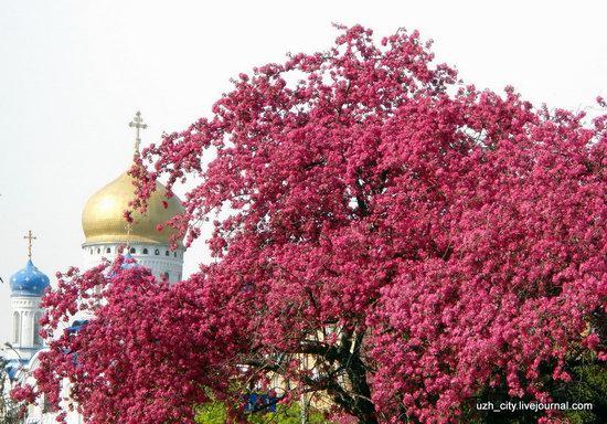 Flowering sakura and apple trees in Uzhhorod, Ukraine, photo 18