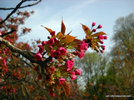 Flowering sakura and apple trees in Uzhhorod, Ukraine, photo 2
