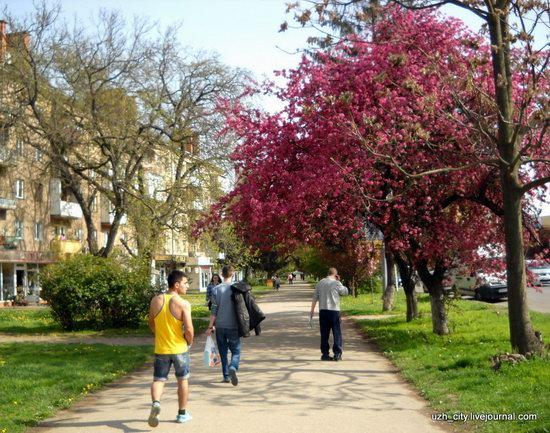 Flowering sakura and apple trees in Uzhhorod, Ukraine, photo 21