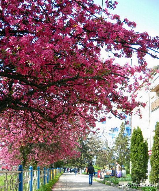 Flowering sakura and apple trees in Uzhhorod, Ukraine, photo 22