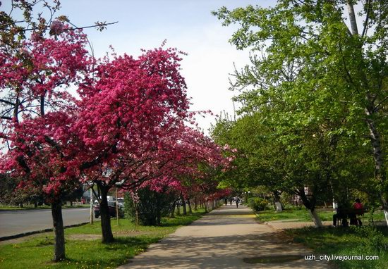Flowering sakura and apple trees in Uzhhorod, Ukraine, photo 23
