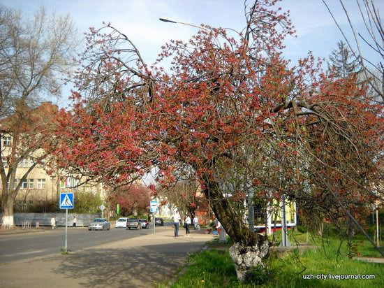 Flowering sakura and apple trees in Uzhhorod, Ukraine, photo 3