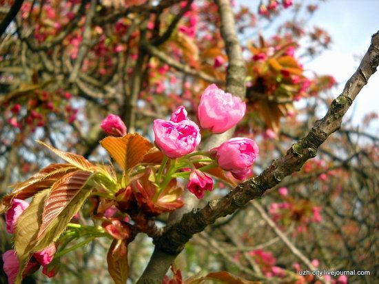 Flowering sakura and apple trees in Uzhhorod, Ukraine, photo 4