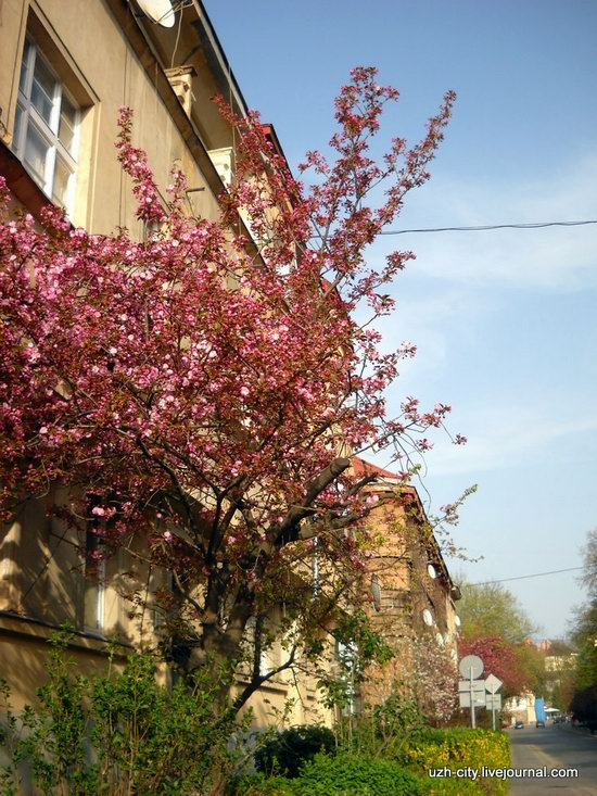 Flowering sakura and apple trees in Uzhhorod, Ukraine, photo 5