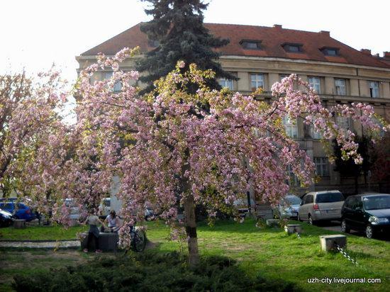 Flowering sakura and apple trees in Uzhhorod, Ukraine, photo 6