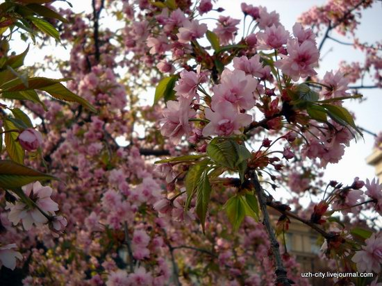 Flowering sakura and apple trees in Uzhhorod, Ukraine, photo 7