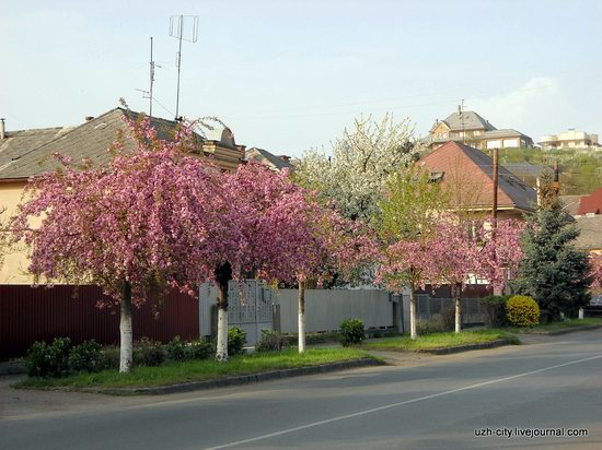 Flowering sakura and apple trees in Uzhhorod, Ukraine, photo 8