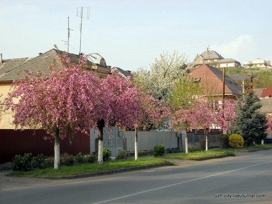 Flowering sakura and apple trees in Uzhhorod, Ukraine, photo 8