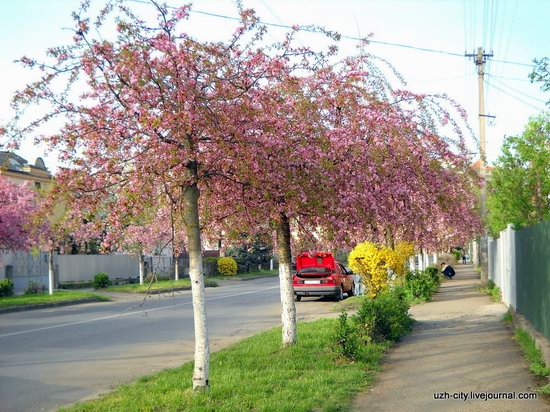 Flowering sakura and apple trees in Uzhhorod, Ukraine, photo 9