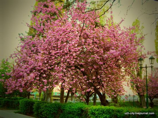 Blooming Spring in Uzhhorod, Ukraine, photo 1